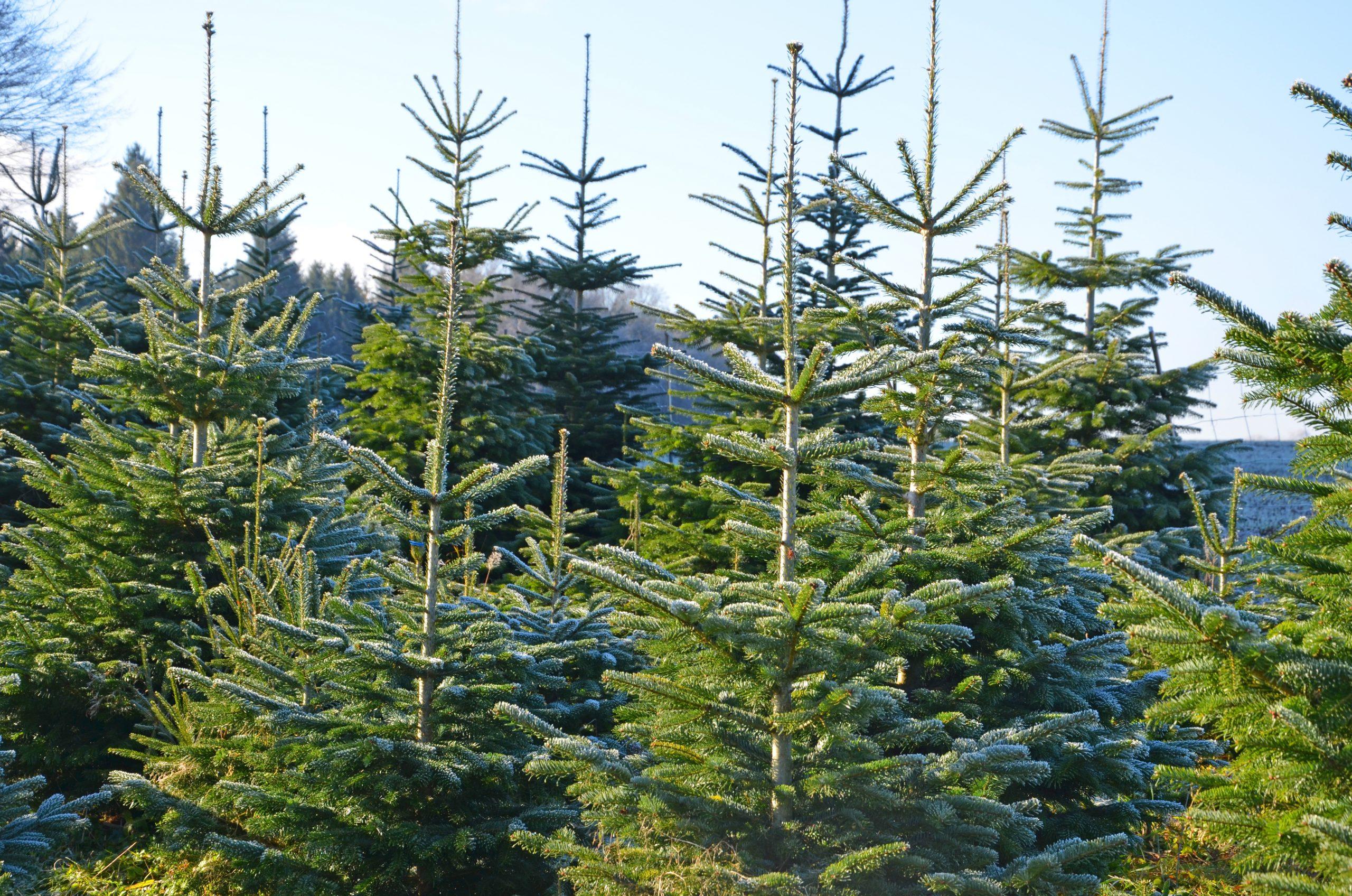 christbaum wald nordmanntannen